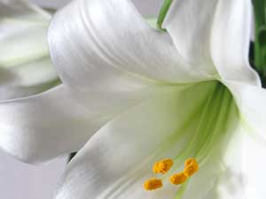 easter-lily300x225